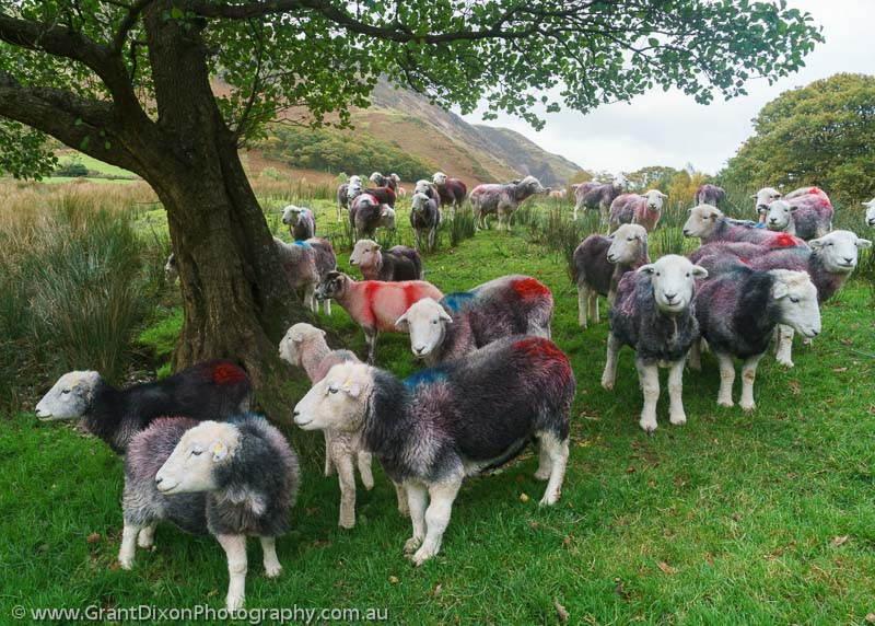 image of Coloured sheep