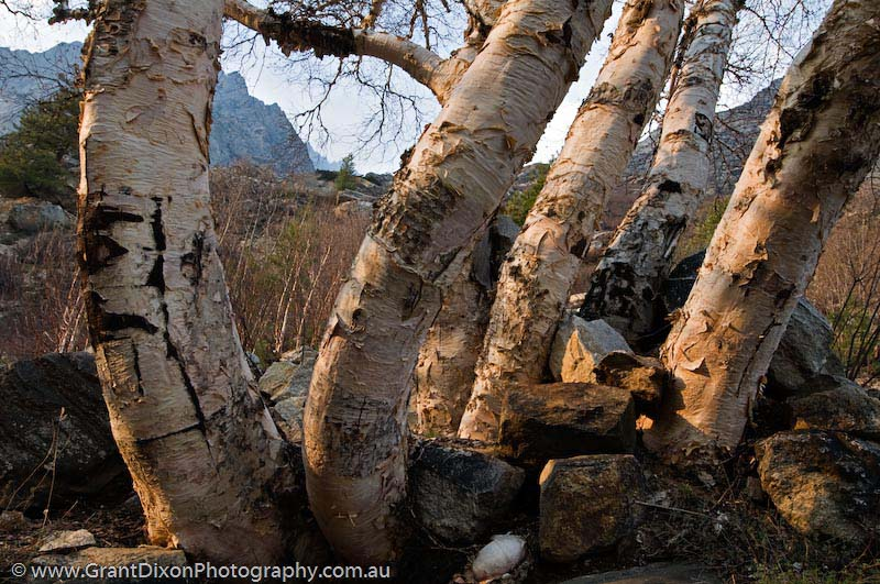 image of Bhagirathi birch 1