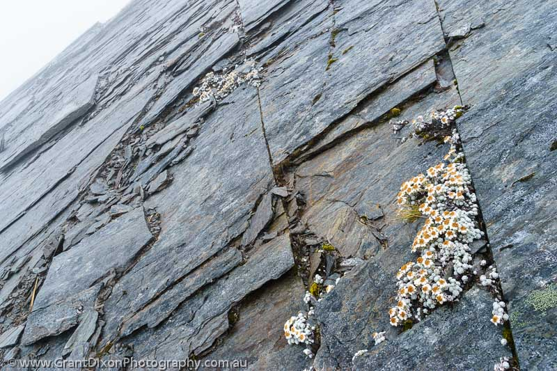 image of Edelweiss & schist