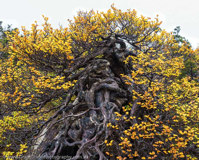 image of Twisted Fagus