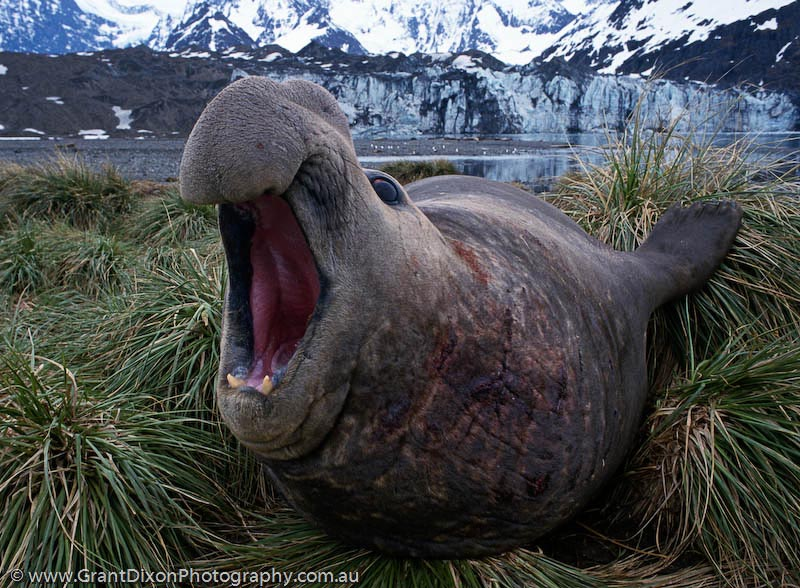 image of Elephant seal bull 1