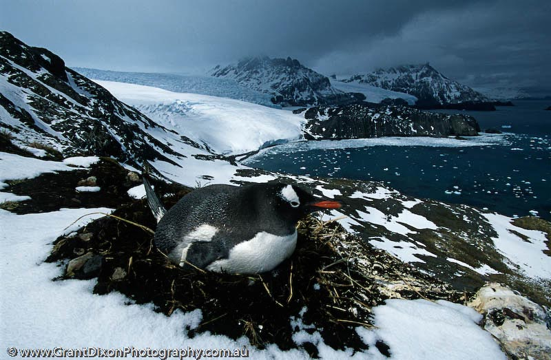 image of Gentoo penguin and glacier