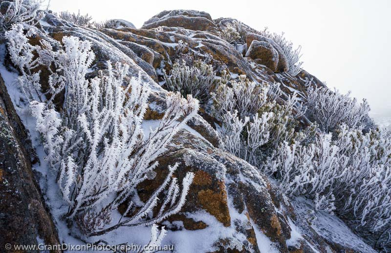 image of Ophel frosted shrub 2