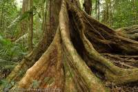 AUSTRALIA, Queensland, Far North, Daintree River National Park. Buttressed roots of rainforest tree above Mossman Gorge, Wet Tropics World Heritage Area.