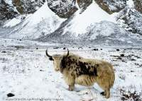 NEPAL, Mugu. Yaks grazing in fresh snow below Chyarga La pass.