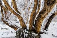 NEPAL, Mugu. Highland Birch tree below Chyarga La pass after fresh snow-fall.