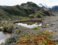 Alpine tarn & moss, Star Mountains, Papua New Guinea.