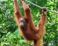 Young female Orangutan, Semenggoh Nature Reserve & wildlife rehabilitation centre, Sarawak.