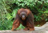 Large male Orangutan, Semenggoh Nature Reserve & wildlife rehabilitation centre, Sarawak.
