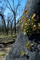 AUSTRALIA, Victoria. Regrowth after bushfire, Grampians National Park