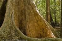 VIETNAM, South, Cat Tien National Park. Buttress roots of large tree in tropical lowland evergreen ranforest.