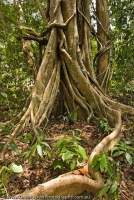 VIETNAM, South, Cat Tien National Park. Strangler fig roots in tropical lowland evergreen ranforest.