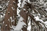 AUSTRALIA, Tasmania, Walls of Jerusalem National Park. Snow-covered trunks of native Pencil Pines (Athrotaxis cupressoides), Dixons Kingdom, winter.